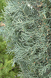 Blue Italian Cypress (Cupressus sempervirens 'Glauca') at The Home And Garden Center