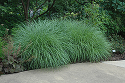 Little Kitten Dwarf Maiden Grass (Miscanthus sinensis 'Little Kitten') at The Home And Garden Center