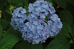 Nikko Blue Hydrangea (Hydrangea macrophylla 'Nikko Blue') at The Home And Garden Center