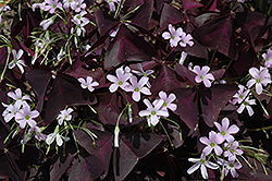 Purple Shamrock (Oxalis regnellii 'Triangularis') at The Home And Garden Center