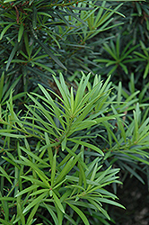 Japanese Yew (Podocarpus macrophyllus) at The Home And Garden Center