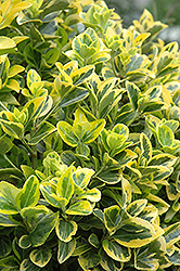 Gold Variegated Japanese Euonymus (Euonymus japonicus 'Aureomarginatus') at The Home And Garden Center