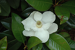 Claudia Wannamaker Southern Magnolia (Magnolia grandiflora 'Claudia Wannamaker') at The Home And Garden Center