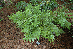 Autumn Fern (Dryopteris erythrosora) at The Home And Garden Center