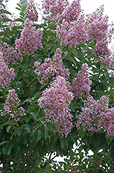 Zuni Crapemyrtle (Lagerstroemia 'Zuni') at The Home And Garden Center