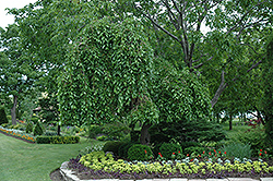 Weeping Mulberry (Morus alba 'Pendula') at The Home And Garden Center