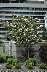 Flowering Dogwood (Cornus florida) at The Home And Garden Center