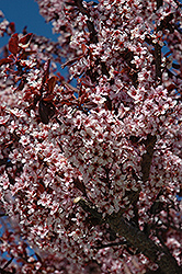 Thundercloud Plum (Prunus cerasifera 'Thundercloud') at The Home And Garden Center