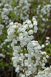 Bridalwreath Spirea (Spiraea prunifolia) at The Home And Garden Center