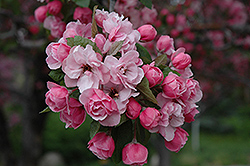 Brandywine Flowering Crab (Malus 'Brandywine') at The Home And Garden Center