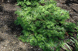 Prostrate Japanese Plum Yew (Cephalotaxus harringtonia 'Prostrata') at The Home And Garden Center