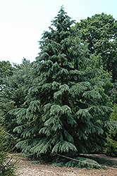 Deodar Cedar (Cedrus deodara) at The Home And Garden Center