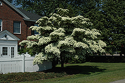 Chinese Dogwood (Cornus kousa) at The Home And Garden Center