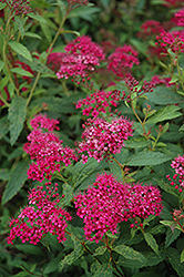 Neon Flash Spirea (Spiraea japonica 'Neon Flash') at The Home And Garden Center