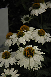 PowWow White Coneflower (Echinacea purpurea 'PowWow White') at The Home And Garden Center
