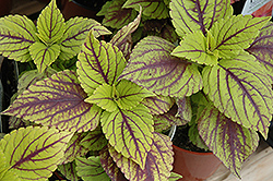 Gays Delight Coleus (Solenostemon scutellarioides 'Gays Delight') at The Home And Garden Center