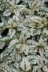 Splash Select White Polka Dot Plant (Hypoestes phyllostachya 'Splash Select White') at The Home And Garden Center