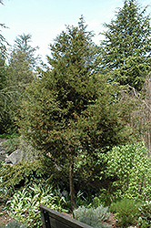 Italian Cypress (Cupressus sempervirens) at The Home And Garden Center