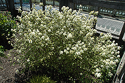 Mt. Airy Fothergilla (Fothergilla major 'Mt. Airy') at The Home And Garden Center