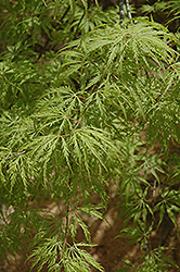 Filigree Green Lace Japanese Maple (Acer palmatum 'Filigree Green Lace') at The Home And Garden Center