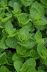 Spearmint (Mentha spicata) at The Home And Garden Center