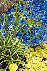 Papyrus (Cyperus papyrus) at The Home And Garden Center