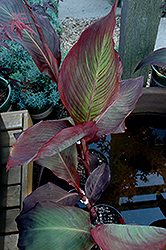 Black Knight Canna (Canna 'Black Knight') at The Home And Garden Center