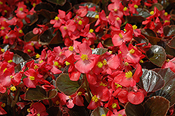 Harmony Scarlet Begonia (Begonia 'Harmony Scarlet') at The Home And Garden Center