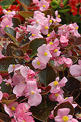Harmony Pink Begonia (Begonia 'Harmony Pink') at The Home And Garden Center