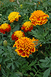 Janie Flame Marigold (Tagetes patula 'Janie Flame') at The Home And Garden Center