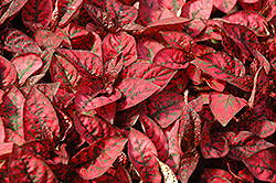 Splash Select Red Polka Dot Plant (Hypoestes phyllostachya 'Splash Select Red') at The Home And Garden Center