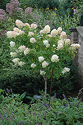 Limelight Hydrangea (tree form) (Hydrangea paniculata 'Limelight (tree form)') at The Home And Garden Center