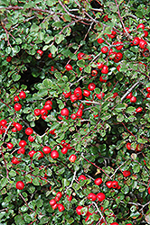 Cranberry Cotoneaster (Cotoneaster apiculatus) at The Home And Garden Center