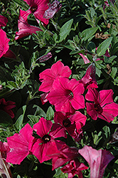 Supertunia Vista® Fuchsia Petunia (Petunia 'Supertunia Vista Fuchsia') at The Home And Garden Center
