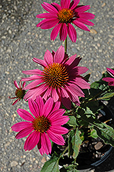 PowWow Wild Berry Coneflower (Echinacea purpurea 'PowWow Wild Berry') at The Home And Garden Center