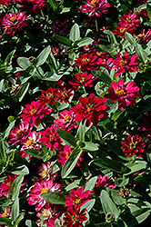 Profusion Double Cherry Zinnia (Zinnia 'Profusion Double Cherry') at The Home And Garden Center