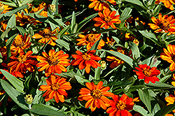 Profusion Orange Zinnia (Zinnia 'Profusion Orange') at The Home And Garden Center