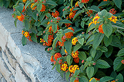 Lucky™ Red Flame Lantana (Lantana camara 'Lucky Red Flame') at The Home And Garden Center