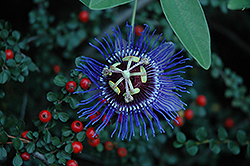 Amethyst Passion Flower (Passiflora 'Amethyst') at The Home And Garden Center