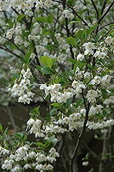 Japanese Snowbell (Styrax japonicus) at The Home And Garden Center