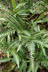 Holly Fern (Arachniodes simplicior) at The Home And Garden Center