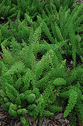 Myers Foxtail Fern (Asparagus densiflorus 'Myers') at The Home And Garden Center