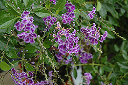 Sapphire Showers Duranta (Duranta erecta 'Sapphire Showers') at The Home And Garden Center