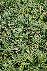 Dwarf Mondo Grass (Ophiopogon japonicus 'Nanus') at The Home And Garden Center