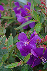 Princess Flower (Tibouchina semidecandra) at The Home And Garden Center