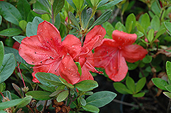 Amagasa Azalea (Rhododendron 'Amagasa') at The Home And Garden Center
