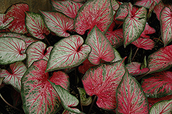 Carolyn Whorton Caladium (Caladium 'Carolyn Whorton') at The Home And Garden Center