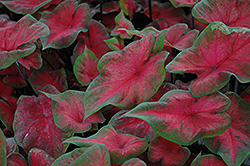Postman Joyner Caladium (Caladium 'Postman Joyner') at The Home And Garden Center