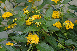 New Gold Lantana (Lantana 'New Gold') at The Home And Garden Center