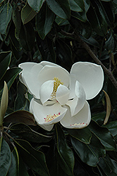 D.D. Blanchard Magnolia (Magnolia grandiflora 'D.D. Blanchard') at The Home And Garden Center